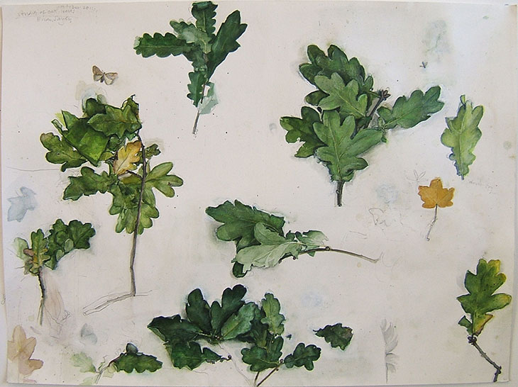 Oak Leaf Studies